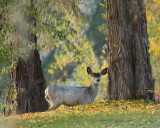 White Fawn in trees