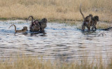 Baboons Crosssing the Water