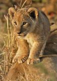 Cub on Mom