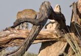 Leopard Leaving