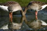 Siamese Geese