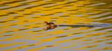 Duckling running on water