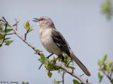 Mockingbirds, Thrashers, Catbirds