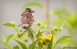 Crested sparrow?