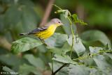 Warbler profile