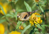 Young finch in the field