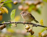 Resting Field Sparrow