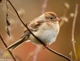 Sparrow at rest