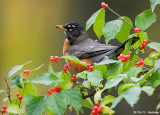 Robin in the berries