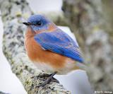 Bluebird up close