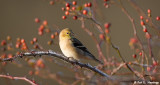 Goldfinch, frost and sun