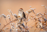 Tree Sparrow in fall