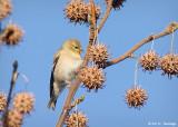 A Goldfinch buffet