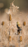Goldfinch, fall thistle