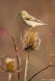 Goldfinch, teasel 3