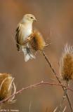 Goldfinch, teasel