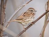 Sparrow in the bush
