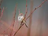 Tree Sparrow in field