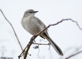 Mockingbird on alert