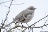 Mockingbird at rest