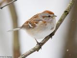 Winter Tree Sparrow