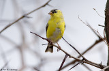Early spring Goldfinch