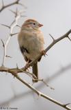 Gazing Sparrow