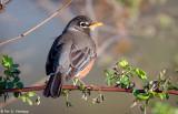 Early-morning Robin