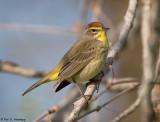 Migrating Warbler