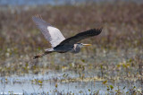 Low over the marsh