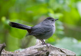 Catbird in the forest