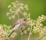 Sparrow and lace