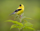 Goldfinch on top