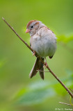 Isolated Sparrow