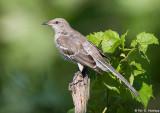 Mockingbird posing