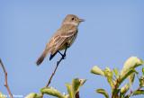 Flycatcher profile