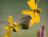 Young finch at rest