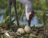 The Sandhill Crane storybook Of  Palmetto Florida  2007