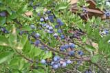 Beach Plum (Prunus maritima)