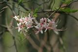 Azalea nudiflorum