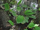 Golden Club (Oruntium aquaticum)