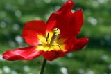 Tulipe_1449r.jpg