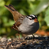 White Stripped Sparrow