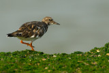 turnstone.... steenloper