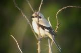 Southern grey-shrike ( Ökenvarfågel )