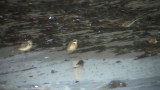 Lesser-Sand Plover ( Mongolpipare )