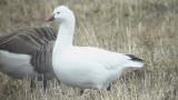 Ross´s Goose (Dvärgsnögås )