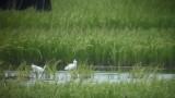 Little Egret (Silkeshäger )