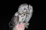 Tawny Owl ( Kattuggla )