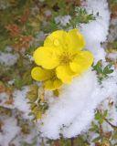 zCRW_2131 Snow Flower.jpg
